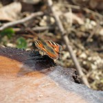 2012-03_Schmetterling
