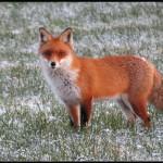 2013-01_Fox